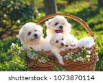 Stock photo cute bichon frise puppies babies angels in basket with red pillow in park white spring adorable 1073870114