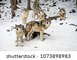 alpha wolf with its pack... | Shutterstock . vector #1073898983