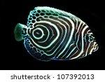 Juvenile Emperor Angel Fish...
