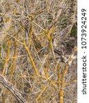 yellow moss in sonora  tx | Shutterstock . vector #1073924249
