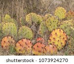 red prickly pear cactus in... | Shutterstock . vector #1073924270