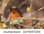 portrait of a robin  erithacus...   Shutterstock . vector #1074057254