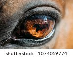 close up of arabian bay horse ... | Shutterstock . vector #1074059774