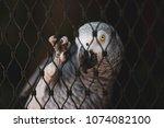 african gray parrot in cage  ... | Shutterstock . vector #1074082100