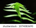 green fern with dark background ... | Shutterstock . vector #1074083690