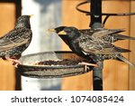 starlings feeding and fighting... | Shutterstock . vector #1074085424