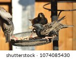 starlings feeding and fighting... | Shutterstock . vector #1074085430