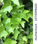 green ivy from italy. | Shutterstock . vector #1074098600