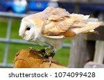 barn owl on glove of trainer | Shutterstock . vector #1074099428