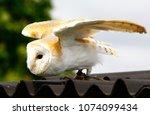 barn owl on glove of trainer | Shutterstock . vector #1074099434