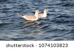two seagulls on the waves.... | Shutterstock . vector #1074103823