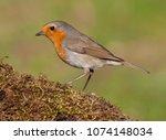 european robin  erithacus... | Shutterstock . vector #1074148034