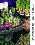 Hyacinth And Daffodil Bulbs In...