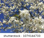 cherry blossom. white cherry... | Shutterstock . vector #1074166733