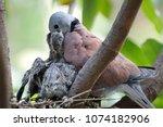 Collared Dove Light Feeding...