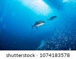 predatory trevally swimming... | Shutterstock . vector #1074183578
