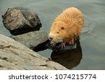 nutria at a pond  | Shutterstock . vector #1074215774