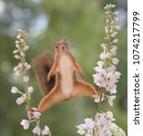 Stock photo red squirrel between delphinium a perennial flower in split looking at the camera 1074217799