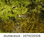 frogs in the swamp during the... | Shutterstock . vector #1074220328