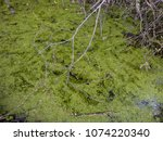 frogs in the swamp during the... | Shutterstock . vector #1074220340