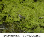 frogs in the swamp during the... | Shutterstock . vector #1074220358
