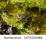 frogs in the swamp during the... | Shutterstock . vector #1074220388