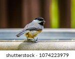 Chickadee On Bird Bath