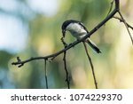 a fiscal flycatcher on dead... | Shutterstock . vector #1074229370
