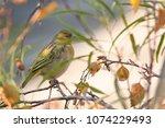 a non breeding southen masked...   Shutterstock . vector #1074229493