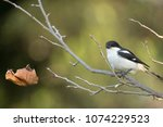 a fiscal shrike on a twig with... | Shutterstock . vector #1074229523