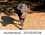 a lonely buffalo posting in... | Shutterstock . vector #1074239228