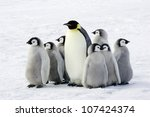 Emperor Penguin With Children ...