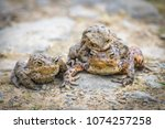 closeup of common toads mating  | Shutterstock . vector #1074257258