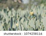 Blooming Opuntia Humifusa...