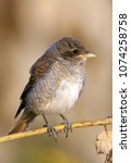 Small photo of Portrait of a baby bird red-backed shrike