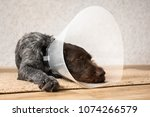 sleeping dog with plastic... | Shutterstock . vector #1074266579