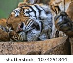 portrait of indochinese tiger ... | Shutterstock . vector #1074291344
