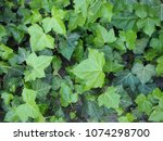 ivy  hedera  plant useful as a... | Shutterstock . vector #1074298700
