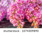 blossom of purple lilac ... | Shutterstock . vector #1074309890