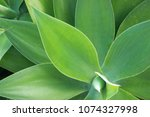 Small photo of Agave attenuate plant geometry pattern close up