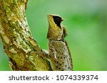 Small photo of Ugly Black face greater spiny lizard (agamid) perching on small tree in nature