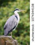 gray heron  ardea cinerea  ... | Shutterstock . vector #1074344138