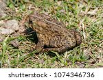 American Toad (Anaxyrus americanus) at Horicon National Wildlife Refuge, Wisconsin