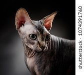 portrait of a sphynx on a dark... | Shutterstock . vector #1074391760