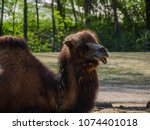 camels in the zoo | Shutterstock . vector #1074401018