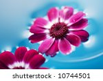 pink flowers floating in the blue water - stock photo