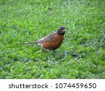 An American Robin Stands In A...