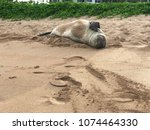 hawaiian monk seal tired   Shutterstock . vector #1074464330
