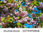 blossoming cherry tree many... | Shutterstock . vector #1074490868