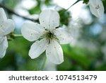 white spring flowers. cherry...   Shutterstock . vector #1074513479